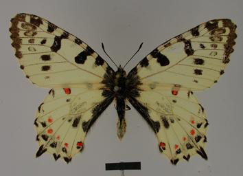 Zerynthia cerisy (Godart, 1824)