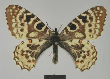Zerynthia louristana (Le Cerf, 1908)