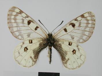 Parnassius simo Gray, 1853