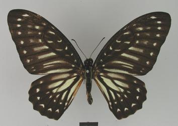 Graphium deucalion (Boisduval, 1836)
