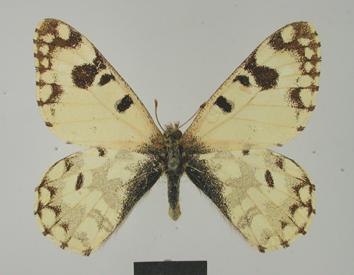 Hypermnestra helios (Nickerl, 1846)