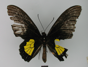 Troides staudingeri (Röber, 1888)