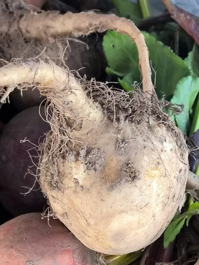 white beet with roots