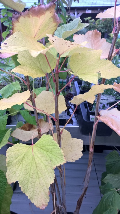 whitecurrant plant in nursery