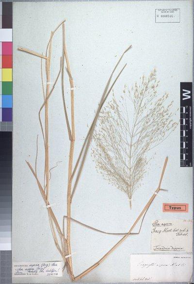 Eragrostis aspera (Jacq.) Nees