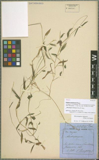 Microstegium vimineum (Trin.) A. Camus