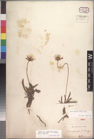 Gerbera serrata (Thunb.) Druce