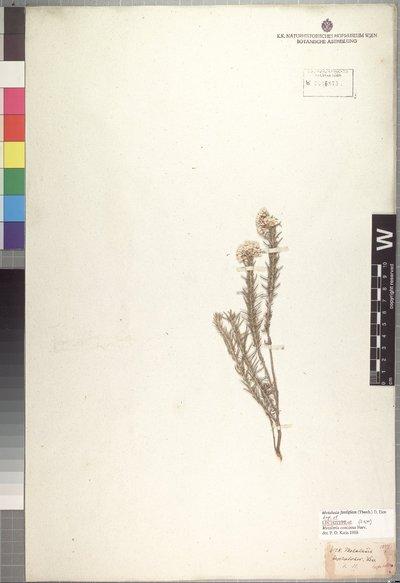 Metalasia fastigiata (Thunb.) D. Don