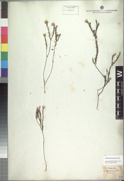 Metalasia quinqueflora DC.