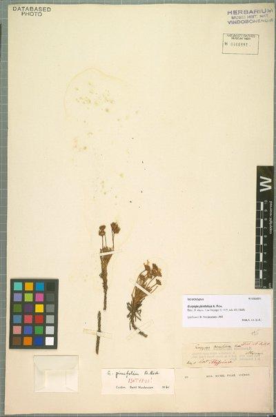 Euryops pinifolius A. Rich.