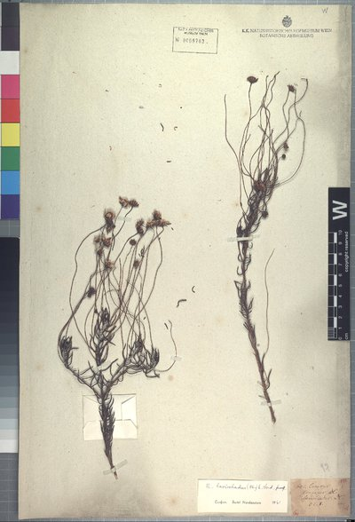 Euryops lasiocladus (DC.) B. Nord.
