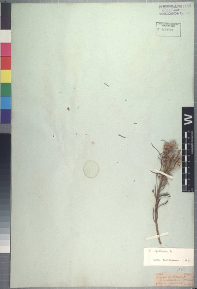 Euryops spathaceus DC.