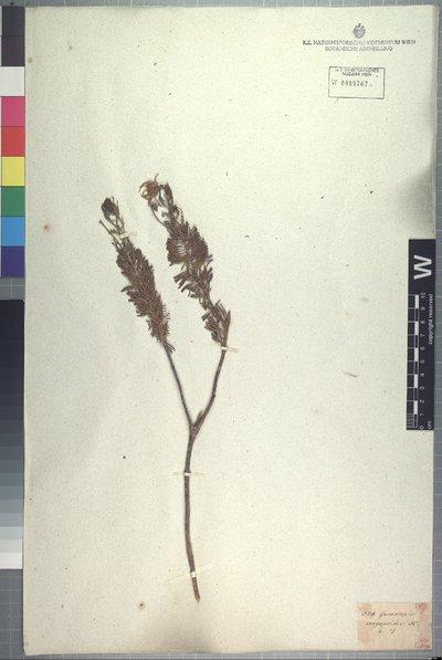 Euryops euryopoides (DC.) B. Nord.