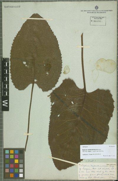 Silphium terebinthinaceum Jacq.