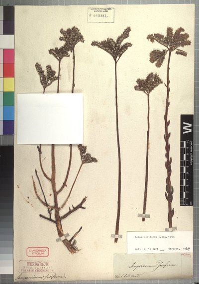 Sedum sediforme (Jacq.) Pau