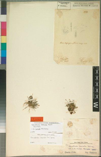 Specklinia lanceola (Sw.) Lindl.