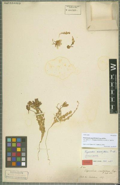 Tropaeolum sessilifolium Poepp. & Endl.