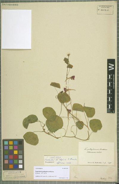 Tropaeolum peltophorum Benth.