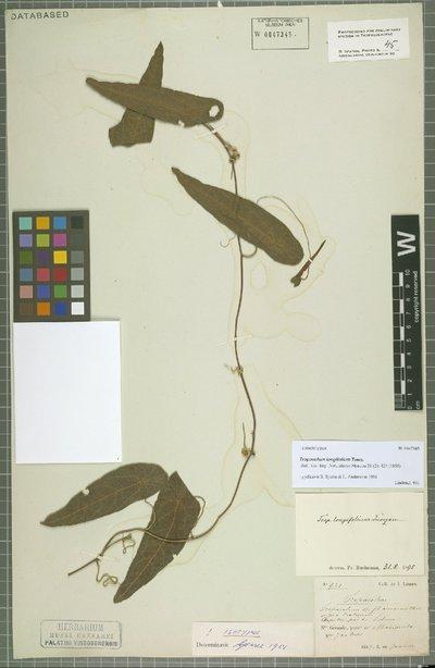 Tropaeolum longifolium Turcz.