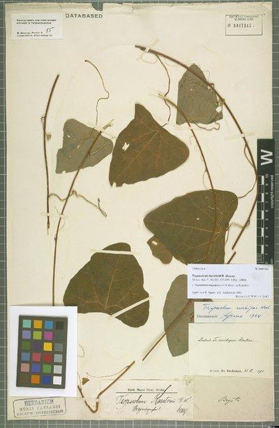 Tropaeolum wagnerianum H. Karst. ex Klotzsch