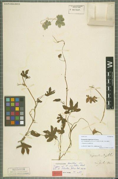 Tropaeolum smithii DC.