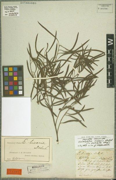 Eucalyptus pulchella Desf.