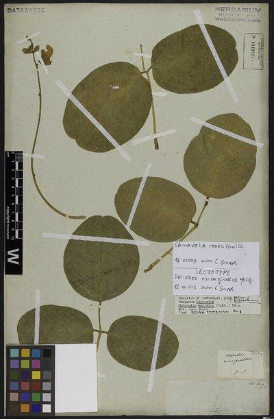 Canavalia rosea (Sw.) DC.