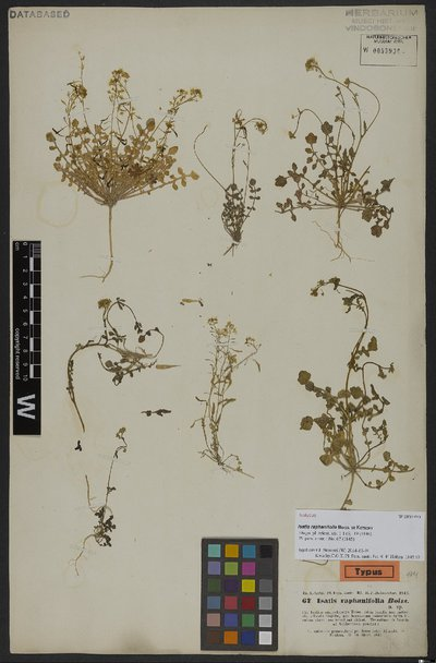 Isatis raphanifolia Boiss. ex Kotschy