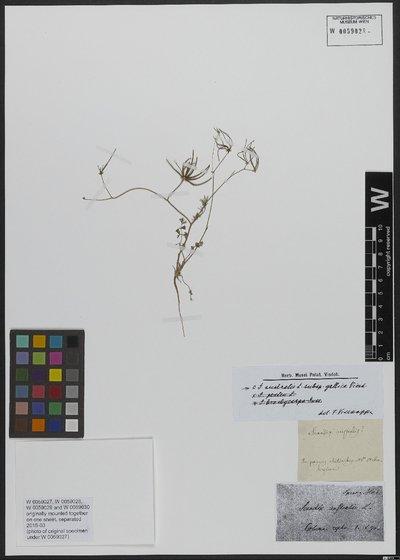 Scandix australis L.