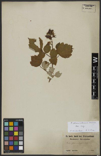 Rubus phoenicolasius Maxim.