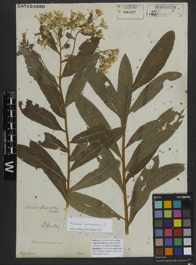 Senecio sarracenicus L.