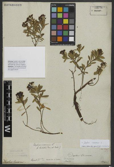Daphne cneorum L.