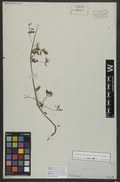 Anthriscus cerefolium (L.) Hoffm.
