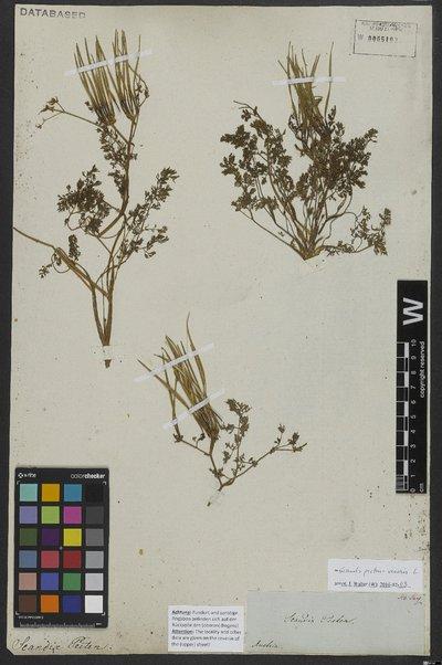 Scandix pecten-veneris L.