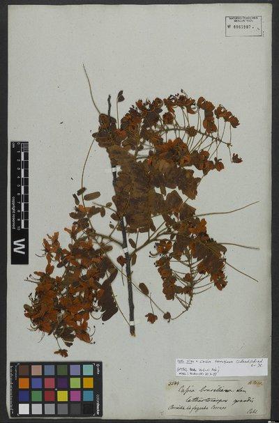 Cassia grandis L. f.
