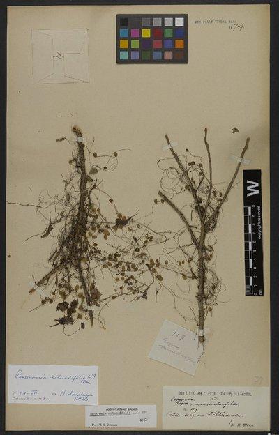 Peperomia rotundifolia (L.) Kunth