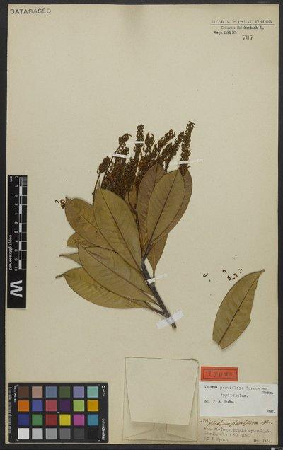 Vochysia parviflora Spruce ex Warm.