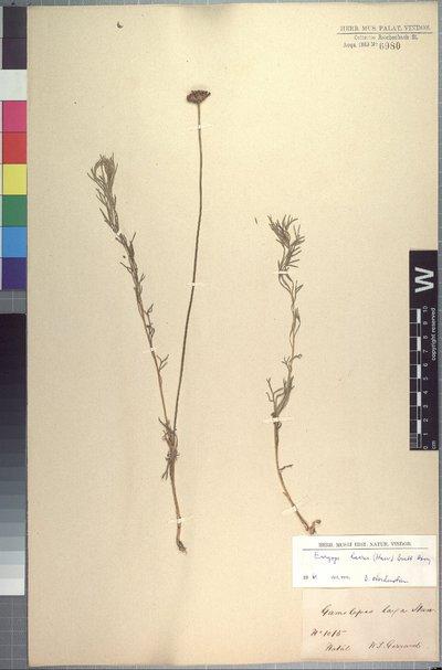 Euryops laxus (Harv.) Burtt Davy