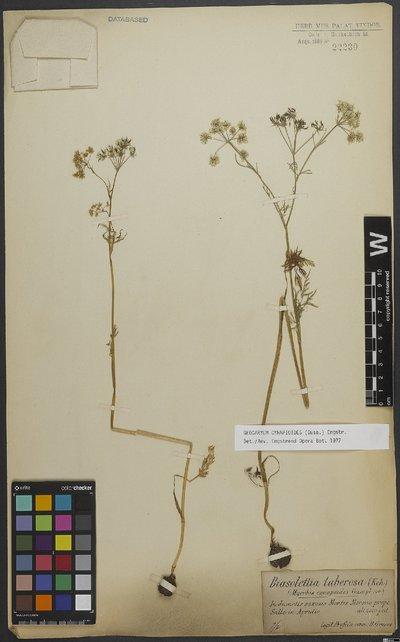 Geocaryum cynapioides (Guss.) Engstrand
