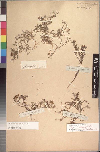 Rhynchopsidium pumilum (L. f.) DC.
