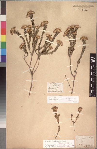 Oedera squarrosa (L.) Anderb. & K. Bremer