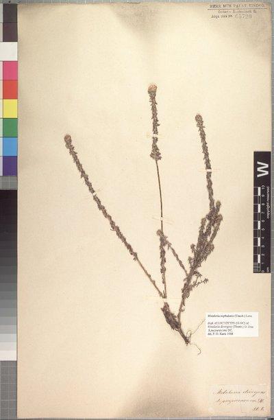 Metalasia cephalotes (Thunb.) Less.