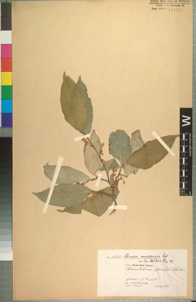 Rinorea elliptica subsp. comorensis (Engl.) Grey-Wilson