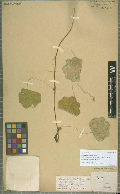 Tropaeolum moritzianum Klotzsch