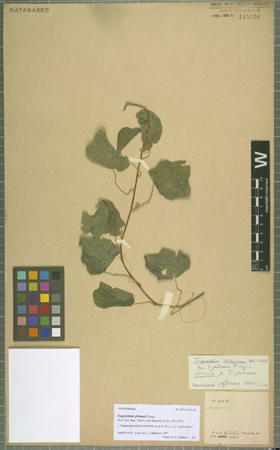 Tropaeolum deckerianum var. deckerianum Moritz & H. Karst.
