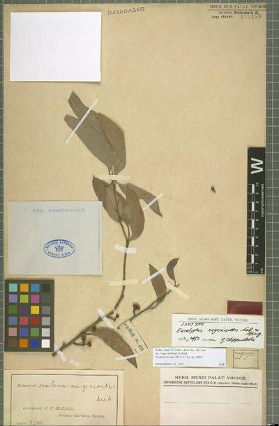 Eucalyptus eugenioides Sieber ex Spreng.