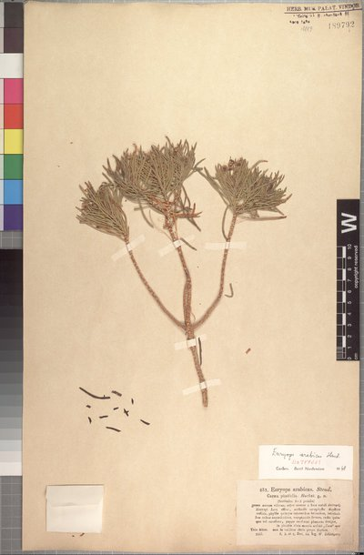 Euryops arabicus Steud. ex Jaub. & Spach