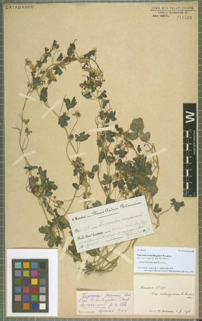 Tropaeolum seemannii Buchenau