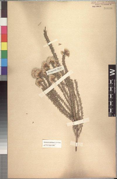 Metalasia muricata (L.) D. Don