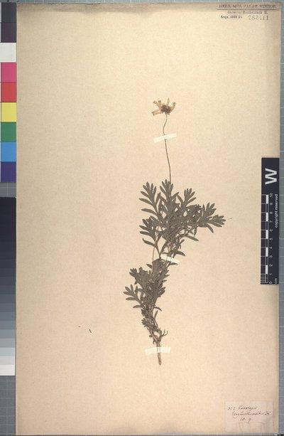Euryops chrysanthemoides (DC.) B. Nord.